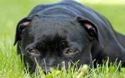 Chien pour vous staffordshire bull terrier