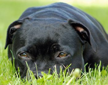 Le staffordshire bull terrier est-il un chien pour vous ?