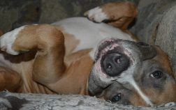staffordshire bull terrier appartement