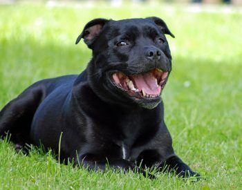 Votre Staffordshire Bull Terrier a mauvaise haleine: que faire?