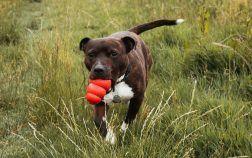 staffordshire bull terrier courrir exterieur
